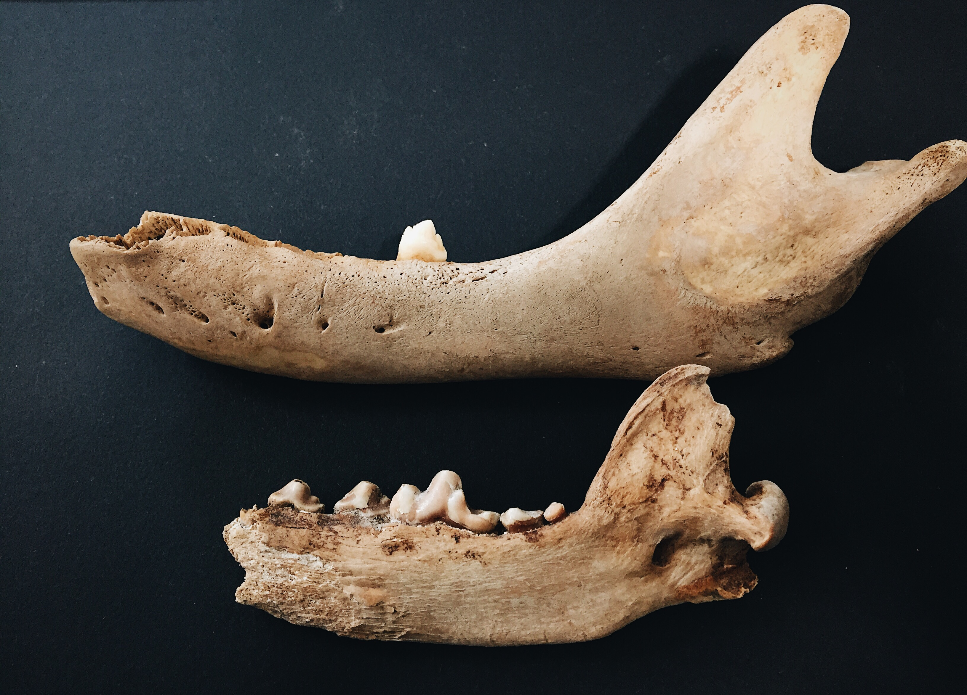 Seal and Canine Mandibles