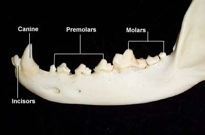 Dog Mandible