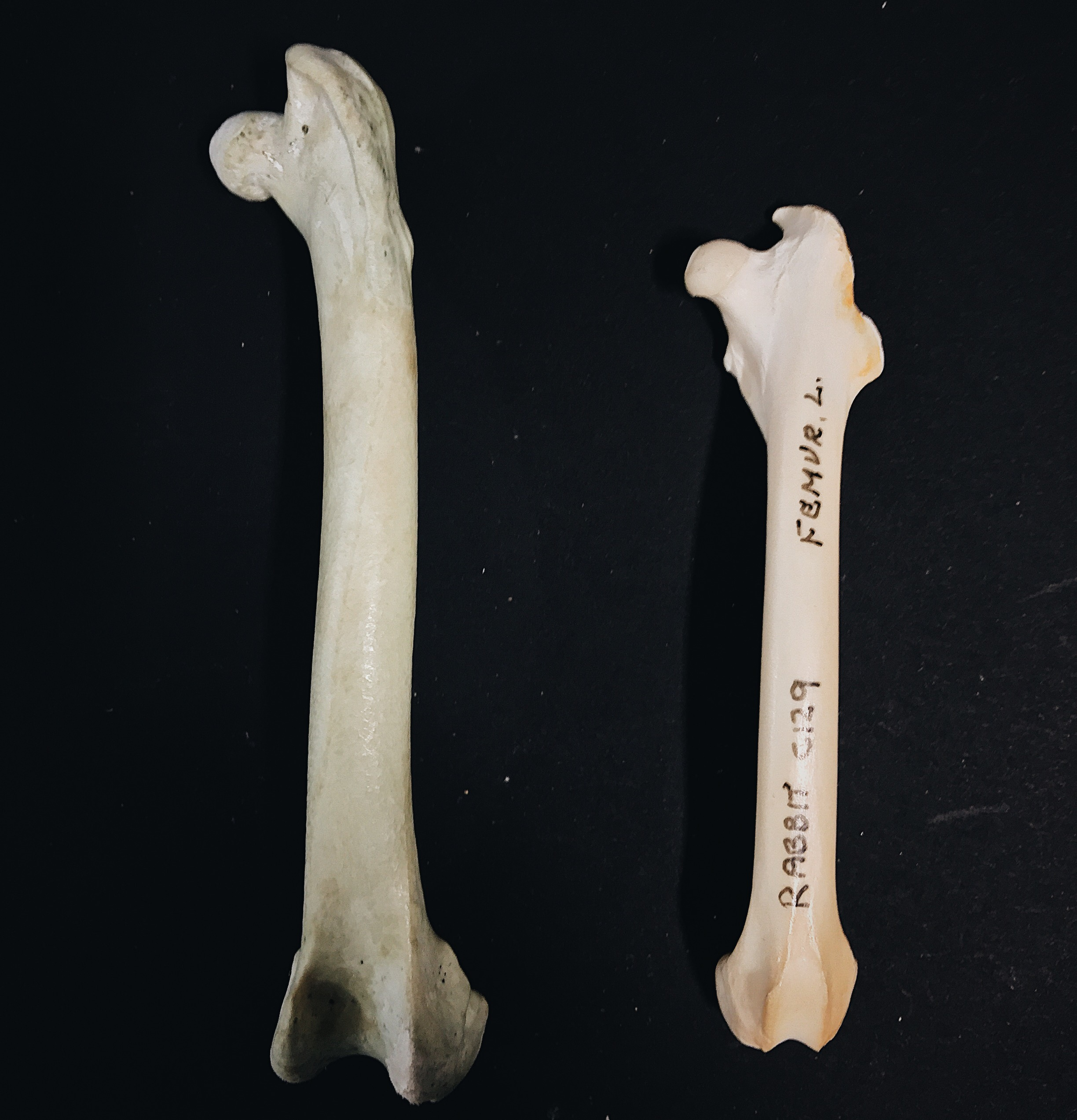 Bird Rabbit femurs