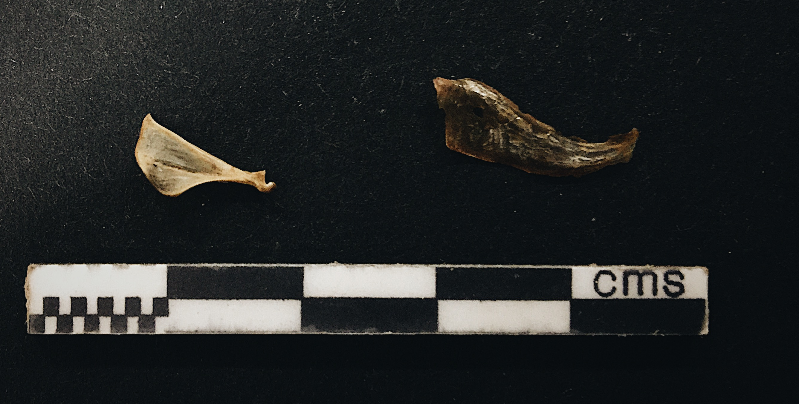 Mouse scapula and herring fragment