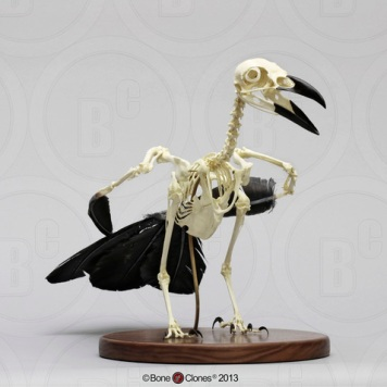 Actual Raven Skeleton