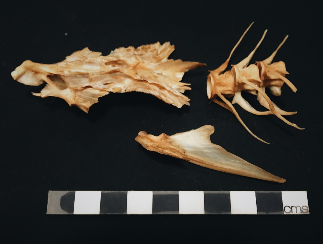 Pollack bones