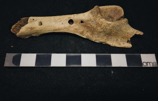 Gnawed bone