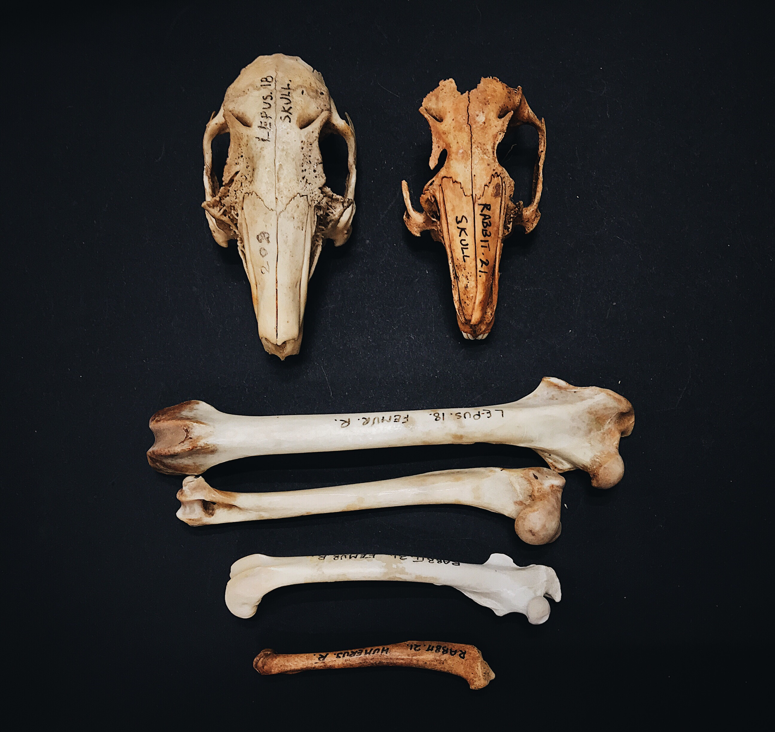 Bones That Look Like Other Bones A Minipost About Rabbits And Hares