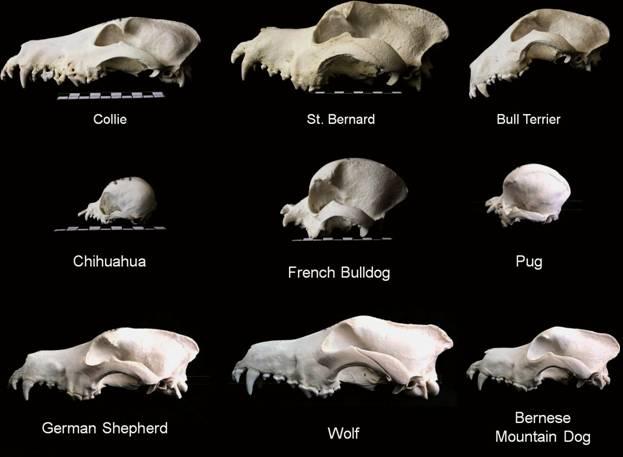dog-skull-variation
